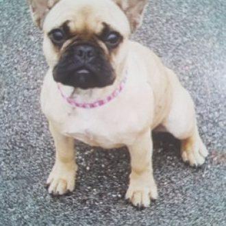 French Bulldog stolen in burglary, Buckinghamshire, 13th July 2017