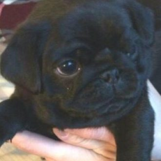 Pug disappeared from garden in Norfolk