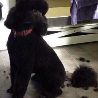 Poodle OSCAR stolen from garden in Llanelli, Wales