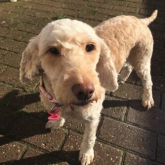 Cockerpoo Izzy missing from Solihull, 8th July'17