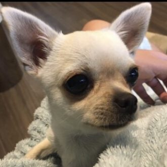 Stolen Chihuahua CHELSEA from Colchester, Essex.