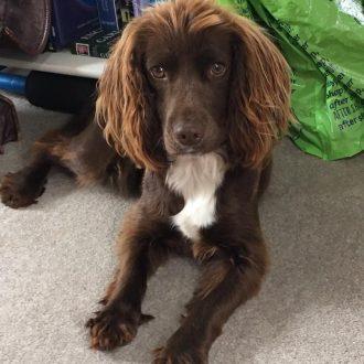 STOLEN dog COCO, taken in burglary, Sambrook, Shropshire on 13th January 2017.