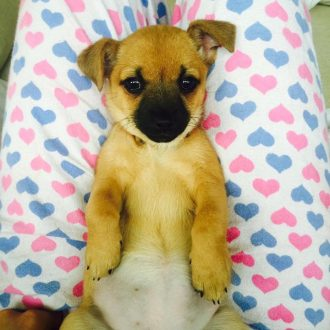 Chihuahua Cross EVIE stolen from Dormans Park, Surrey on 27th January 2017.