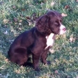 REUNITED ❤️ Concerns grow for missing puppy ROSIE, Thorbororough, Milton Keynes, Bucks, 1st February 2017