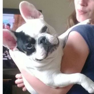 REUNITED ❤️ French Bulldog TROY stolen, Witney, Oxfordshire on 5th February 2017.