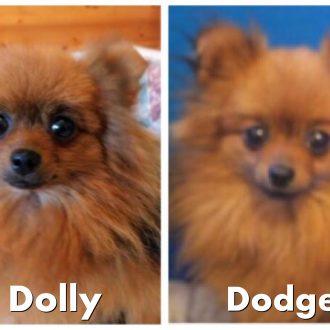 Two Pomeranian dogs stolen, Somersham, Cambridgeshire